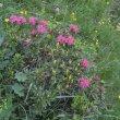 A tohle je... (tedy jsou - zakrslé rododendrony)